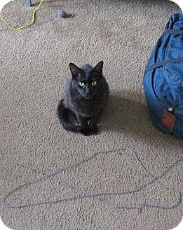 Domestic Shorthair Cat for adoption in Los Angeles, California - Binxie