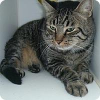 Adopt A Pet :: Big Tig - Hamburg, NY