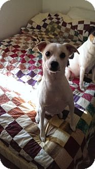 Jack Russell Terrier Mix Dog for adoption in Austin, Texas - Dew in Princeton, Texas