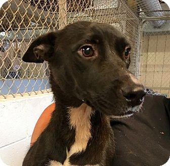 German Shepherd Dog Dog for adoption in El Centro, California - Navy