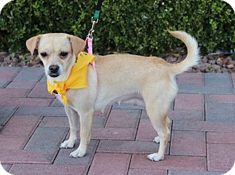 Chihuahua/Dachshund Mix Dog for adoption in Las Vegas, Nevada - YERETZI