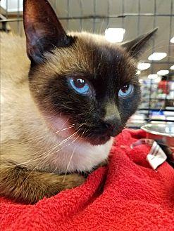 Siamese Cat for adoption in Tucson, Arizona - Bo