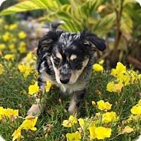 Adopt A Pet :: Ashley - San Diego, CA