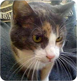 Calico Cat for adoption in Tomball, Texas - Tabith