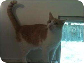 American Shorthair Cat for adoption in Ringwood, Illinois - JB