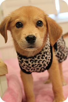 Golden Retriever/Beagle Mix Puppy for adoption in Wytheville, Virginia - Bindi