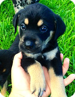 Rottweiler/German Shepherd Dog Mix Puppy for adoption in Miami, Florida - Lois