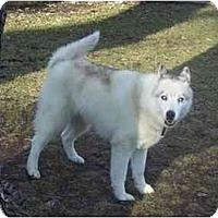 Adopt A Pet :: Sugar #2 - Belleville, MI