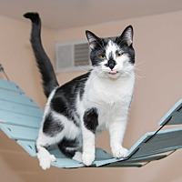 Domestic Shorthair Cat for adoption in Chicago, Illinois - Janu