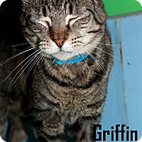 Domestic Shorthair Cat for adoption in Arkadelphia, Arkansas - Griffin