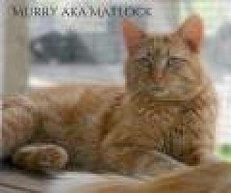 Domestic Mediumhair Cat for adoption in Columbia, Tennessee - Murray aka Matlock