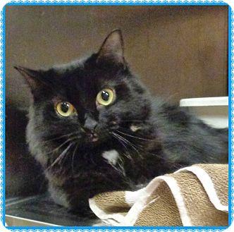 Domestic Mediumhair Cat for adoption in Marietta, Georgia - BOO BOO KITTY (R)