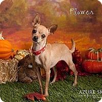 Adopt A Pet :: Flower - Mesa, AZ