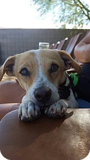 Jack Russell Terrier/Terrier (Unknown Type, Small) Mix Dog for adoption in Phoenix, Arizona - Toby