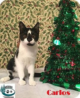 Domestic Shorthair Kitten for adoption in Huntsville, Ontario - Carlos - Adopted December 2016