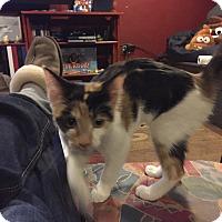 Adopt A Pet :: Rose - Chicago, IL