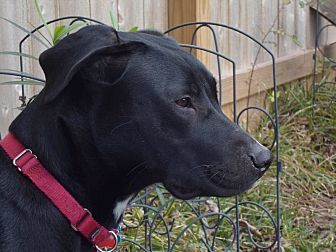 Labrador Retriever Dog for adoption in Jay, New York - Carl