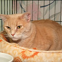 Domestic Shorthair Cat for adoption in Milford, Massachusetts - Amber