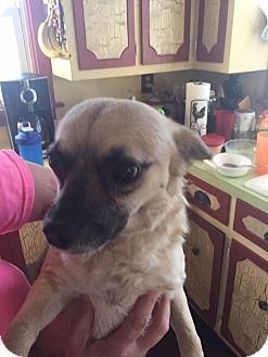 Chihuahua Mix Dog for adoption in Charlotte, North Carolina - Percy