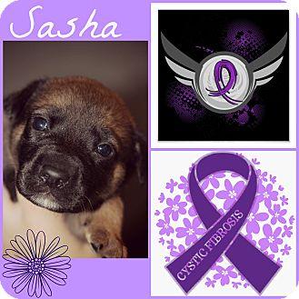 Labrador Retriever/Shepherd (Unknown Type) Mix Puppy for adoption in Fredericksburg, Virginia - Sasha