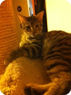 Bengal Cat for adoption in Pittstown, New Jersey - Ashtar