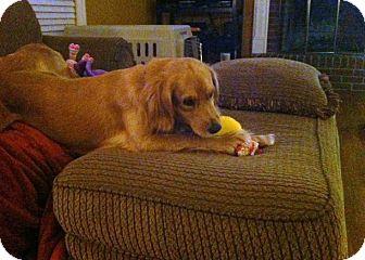 Cocker Spaniel/Golden Retriever Mix Dog for adoption in Alexandria, Virginia - Lady