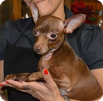 Chihuahua Mix Dog for adoption in West LA, California - COCO