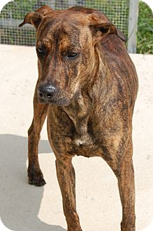 Greyhound Mix Dog for adoption in Bucyrus, Ohio - Sprankles