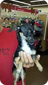 Chihuahua Mix Dog for adoption in Fresno, California - June Bug