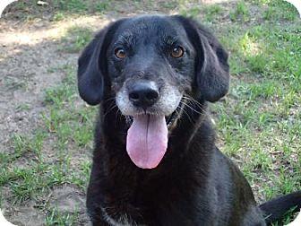 Field Spaniel/Spaniel (Unknown Type) Mix Dog for adoption in Ravenel, South Carolina - Charlie
