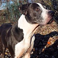 Hound (Unknown Type)/American Bulldog Mix Dog for adoption in O'Fallon, Missouri - Reggie