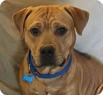 Mastiff/Pit Bull Terrier Mix Dog for adoption in Raritan, New Jersey - Milo PENDING