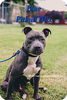 Pit Bull Terrier Mix Dog for adoption in Cheney, Kansas - Blue