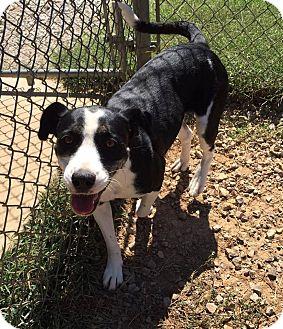 Labrador Retriever/Border Collie Mix Dog for adoption in Harmony, Glocester, Rhode Island - Rilah