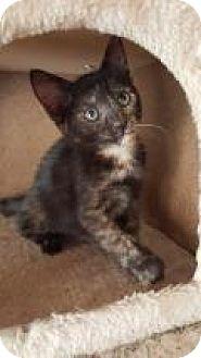 Domestic Shorthair Kitten for adoption in Mission Viejo, California - Sunshine