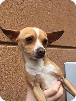 Chihuahua Mix Dog for adoption in Westminster, California - Earl