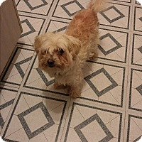 Adopt A Pet :: Benny **FOSTER NEEDED** - Montreal, QC