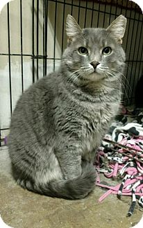 Domestic Shorthair Cat for adoption in Saginaw, Michigan - Rico