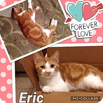 Domestic Shorthair Cat for adoption in Keller, Texas - Eric