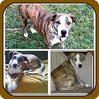 Adopt A Pet :: CONNOR - Malvern, AR