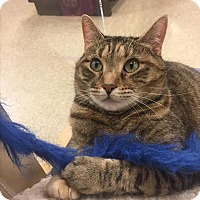 Domestic Shorthair Cat for adoption in Portsmouth, Virginia - Brenda