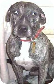 Greyhound/Foxhound Mix Dog for adoption in Forest Hills, New York - Jack