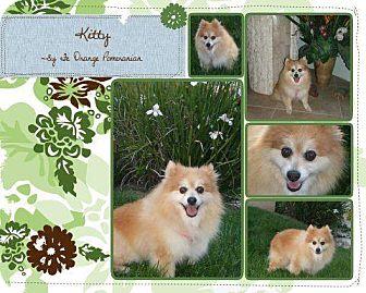 Pomeranian Mix Dog for adoption in Las Vegas, Nevada - Sadie