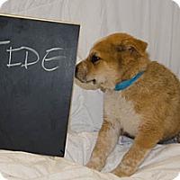 Adopt A Pet :: Tide - Westminster, CO