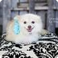 Adopt A Pet :: Sandy Sioux - Shawnee Mission, KS