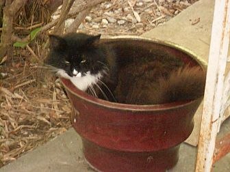 Domestic Longhair Cat for adoption in Naples, Florida - Satchmo