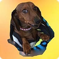 Adopt A Pet :: Obi Kenobi - Louisville, CO