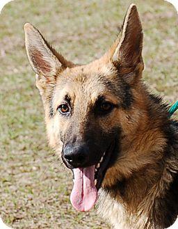 German Shepherd Dog Puppy for adoption in Preston, Connecticut - Bruno AD 02-18-17