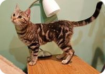 Domestic Shorthair Cat for adoption in Raritan, New Jersey - Aurora