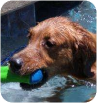 Golden Retriever Mix Dog for adoption in Scottsdale, Arizona - Brody
